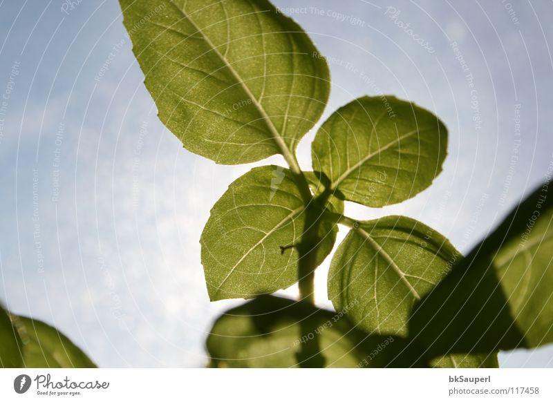 basilikum Gemüse Kräuter & Gewürze Bioprodukte Stil Erholung Sonne Küche Gastronomie Natur Pflanze Himmel Wolken Blume Blatt Grünpflanze Topfpflanze blau grün