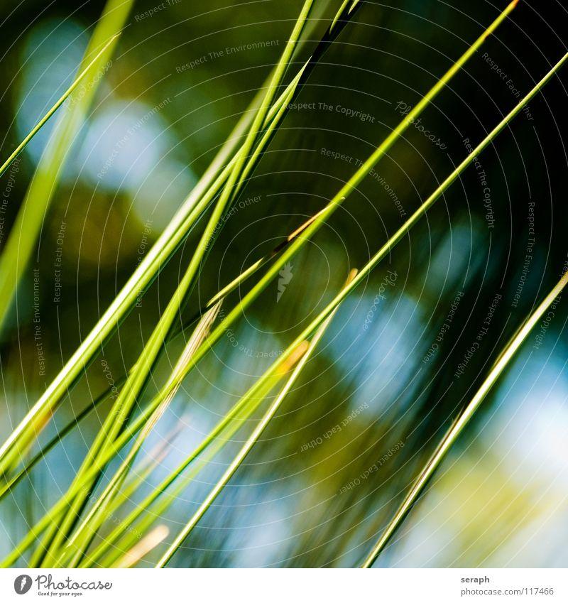 Binsen Schilfrohr Röhricht Biotop Blüte Blühend Blume Gras Halm Pflanze Natur Kräuter & Gewürze wedel Umwelt reed Süßgras spirre Hintergrundbild abstrakt
