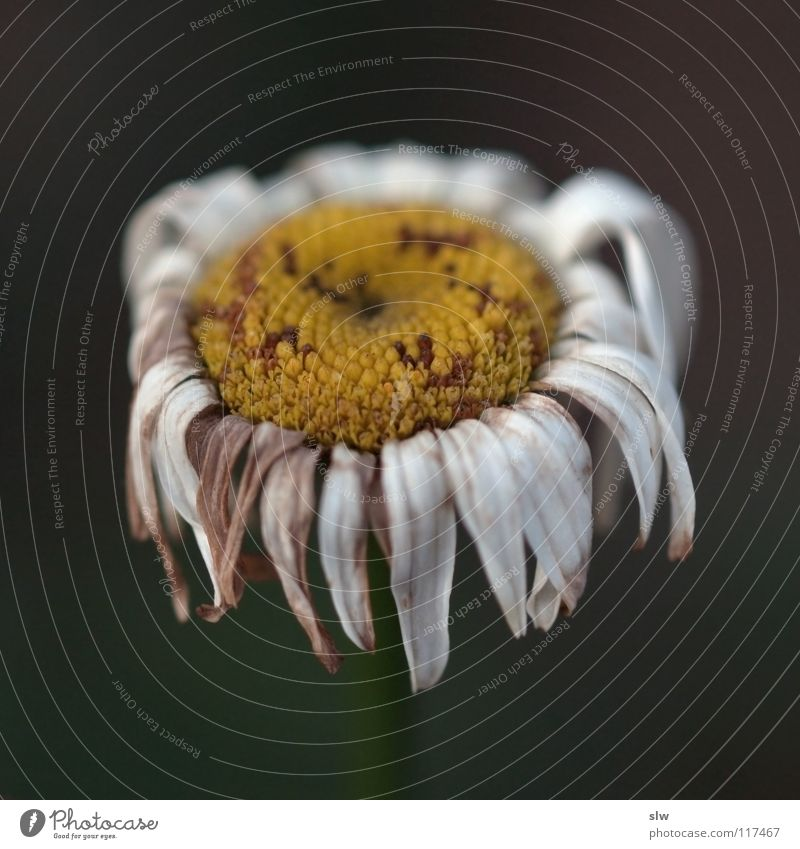 Verwelkte Blume Natur weiß Pflanze Einsamkeit gelb kalt Herbst Tod Blüte Traurigkeit Vergänglichkeit Stengel Vergangenheit vergangen vertrocknet