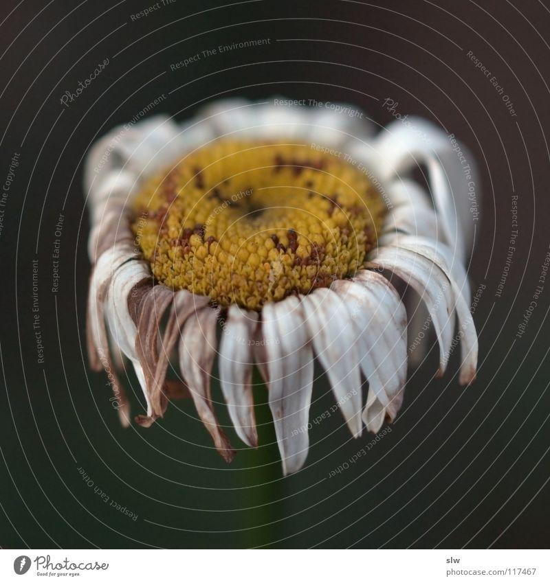 Verwelkte Blume weiß gelb Einsamkeit Herbst kalt ungemütlich Blüte Stengel Muster Pflanze Vergänglichkeit vergangen Vergangenheit Blume verwelkte blume Tod