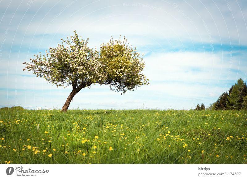 Frühling auf dem Land Natur Landschaft Himmel Wolken Sommer Schönes Wetter Baum Löwenzahn Apfelbaum Blüte Mistel Wiese Blühend Duft ästhetisch frisch positiv