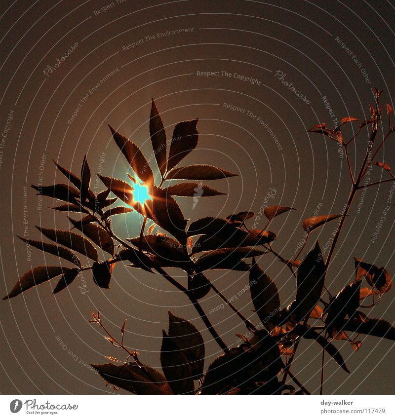 Summerfeelings iV Natur Sonne Pflanze rot Sommer Blatt gelb Erholung Freiheit Wärme Stimmung braun Beleuchtung Charakter blenden schimmern