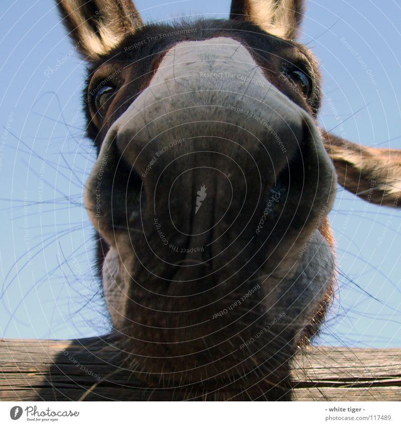 muhhh Tier lustig blau braun Nasenhaar Esel Farbfoto Außenaufnahme Tag Maul Auge Blick in die Kamera Menschenleer Nahaufnahme Nüstern Geruch skurril