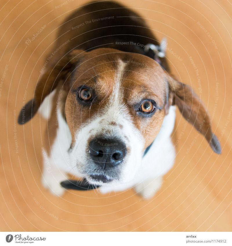 Spürhundhund, der Kamera betrachtet Hund Tier braun sitzen niedlich Haustier reizvoll Säugetier seltsam züchten Welpe heimisch Beagle Reinrassig