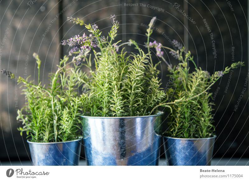 Provenzalisch - groß und klein Topf Pflanze Sträucher Lavendel Duft ästhetisch blau grün silber Stimmung Wachstum Dekoration & Verzierung Topfpflanze