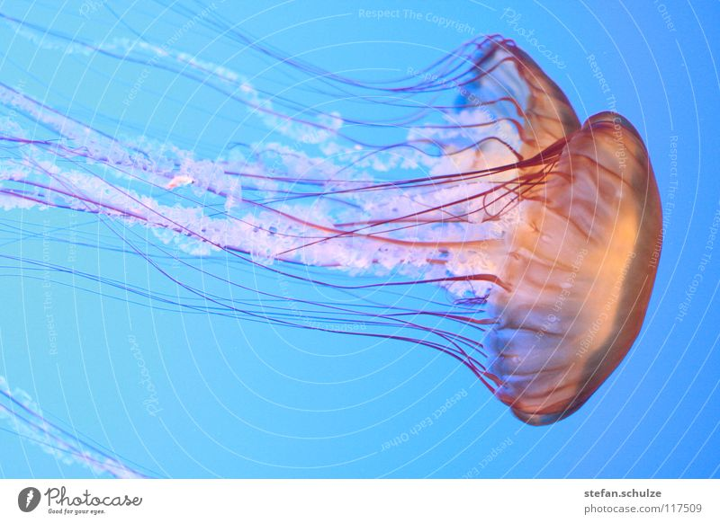 Qualle See Meer Tentakel Gift gefährlich Nesseltiere Fisch Jellyfish Meduse Wasser