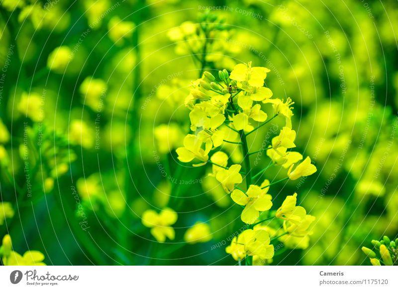 Raps Umwelt Natur Pflanze Blume Blatt Blüte Nutzpflanze Rapsfeld Rapsöl Rapsanbau Rapsblüte Feld Business Energie Fortschritt innovativ Klima nachhaltig rein