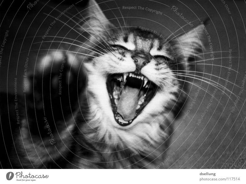 Schenkelklopfer weiß Freude schwarz Tier lachen grau Katze Gebiss weich Spitze fangen Seite Säugetier Zahnarzt Maul Schnauze