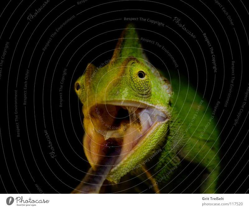 Jemenchamäleon grün Baum schwarz Zunge Reptil Echsen Chamäleon