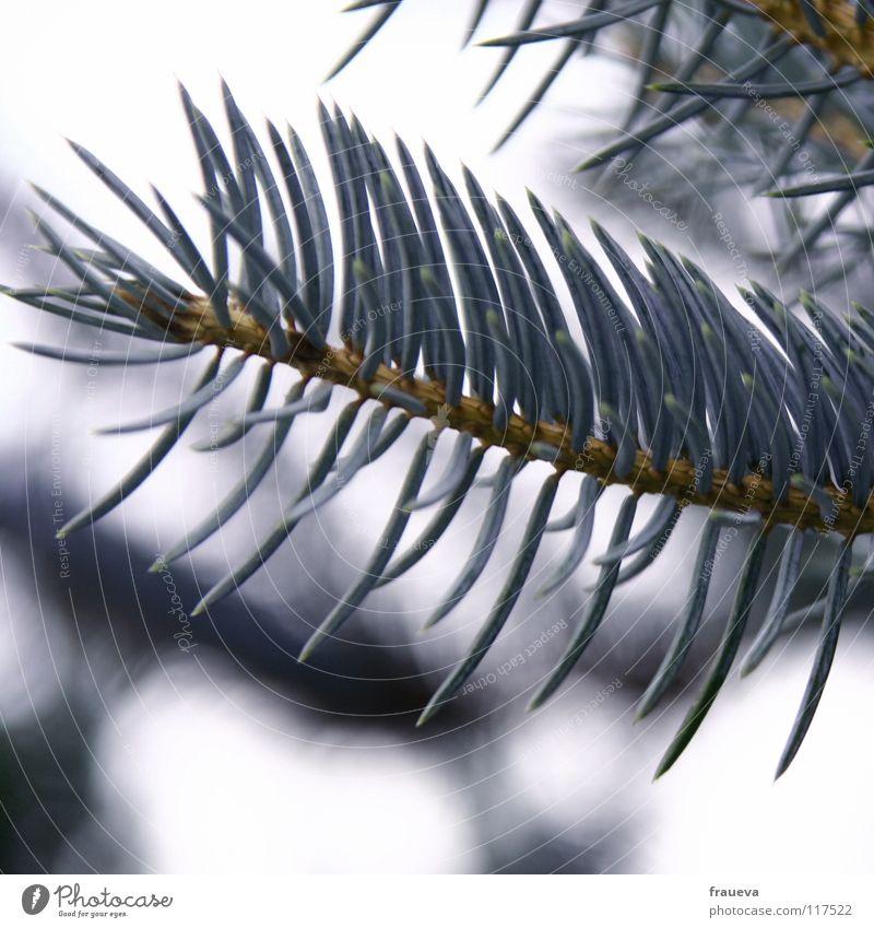 o tannenbaum Natur blau Einsamkeit Winter Idylle Ast violett Zweig Tanne Nadelbaum Tannennadel