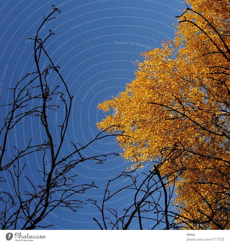 Zwei Herbstler, sich gegenseitig beeindruckend Freude Leben Himmel Klima Schönes Wetter Baum Blatt kämpfen Wachstum viele blau braun gold schwarz Tod Farbe