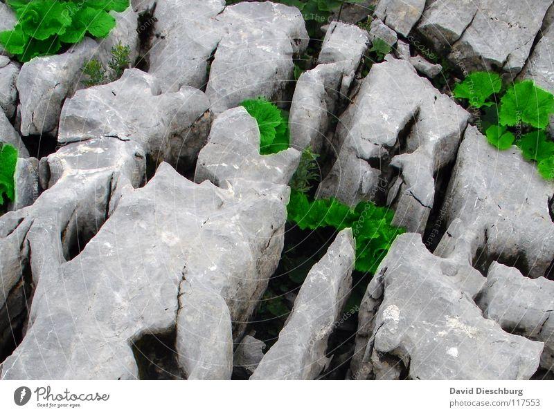 Pflanzenstärke 5000 grün Blatt schwarz Farbe Berge u. Gebirge grau Stein Feste & Feiern groß Felsen Stengel Lebewesen Riss Verschiedenheit Kohlendioxid