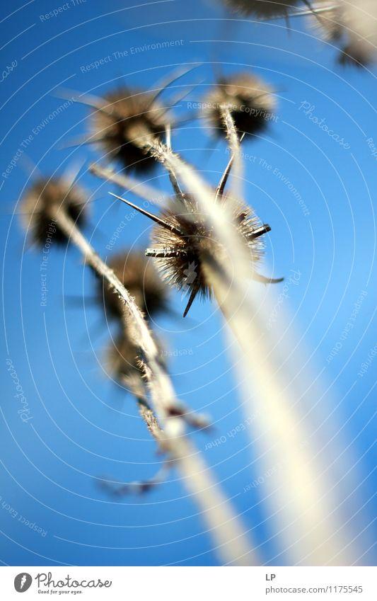 Trockene Disteln Natur Pflanze Wildpflanze Bekanntheit einfach oben Spitze stachelig trocken wild blau grau Reinheit Abenteuer Senior Farbfoto Außenaufnahme