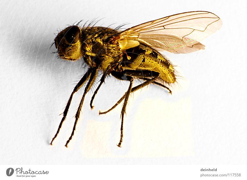 Die Kleine ganz groß gelb Retroring Tier Makroaufnahme Nahaufnahme Fliege Tod Flügel fliegen