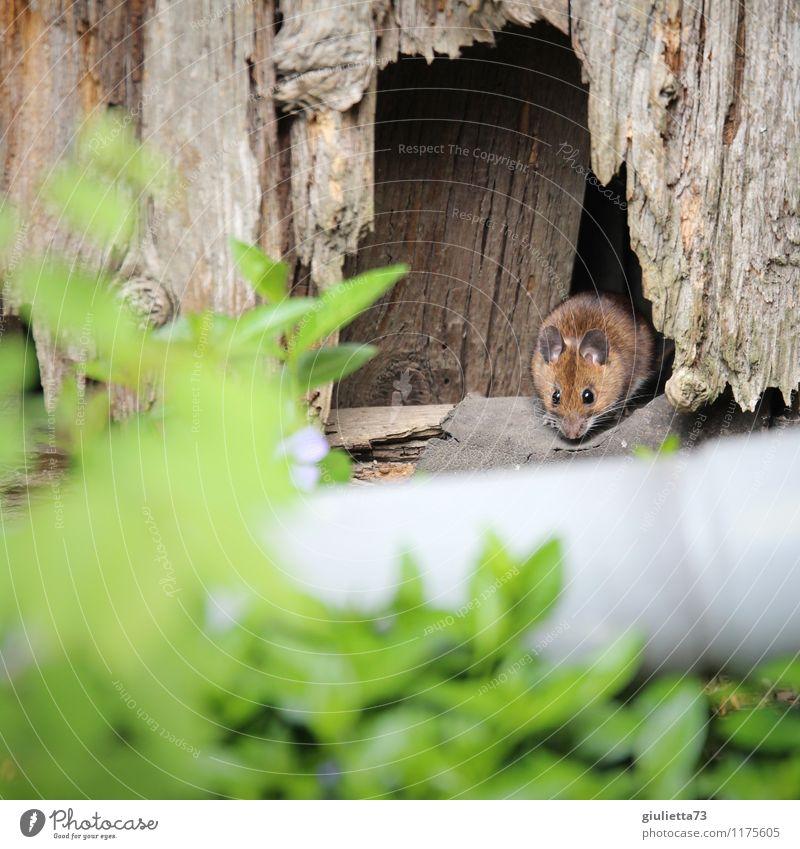 Guten Tag, Frau Maus! Umwelt Natur Frühling Sommer Blatt Grünpflanze Garten Tier Wildtier Fell 1 beobachten entdecken hocken Blick Häusliches Leben frech klein