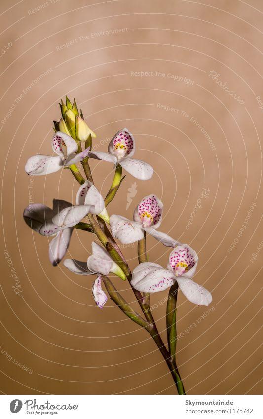 Disa tripetaloides Orchidee Orchid Natur Pflanze schön weiß Blume rot Freude Umwelt gelb Blüte natürlich Stil Glück braun Lifestyle rosa