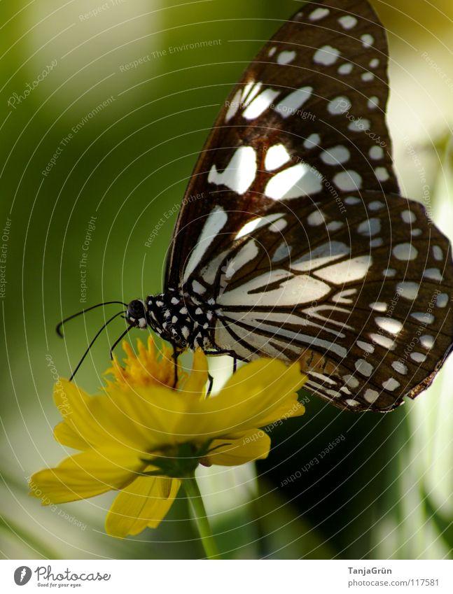 butterfly Schmetterling Blume Blüte Pflanze gelb weiß schwarz mehrfarbig Sommer Insekt Pause Physik Thailand grün flattern Honig Pollen Flügel fliegen Natur