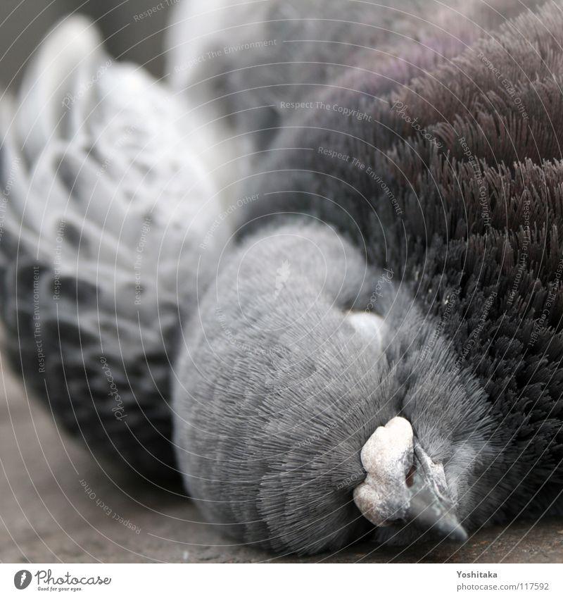 Silencio schön ruhig Tier Straße Leben Tod grau Vogel Bodenbelag Feder Vergänglichkeit Ende Frieden Taube Schnabel friedlich