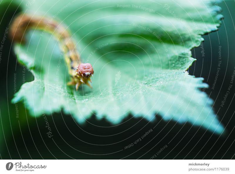"""Raupe am Blatt Natur Wildtier """"Raupe Schmetterling"""" beobachten Essen Fressen füttern krabbeln außergewöhnlich Ekel exotisch achtsam Wachsamkeit ruhig"""