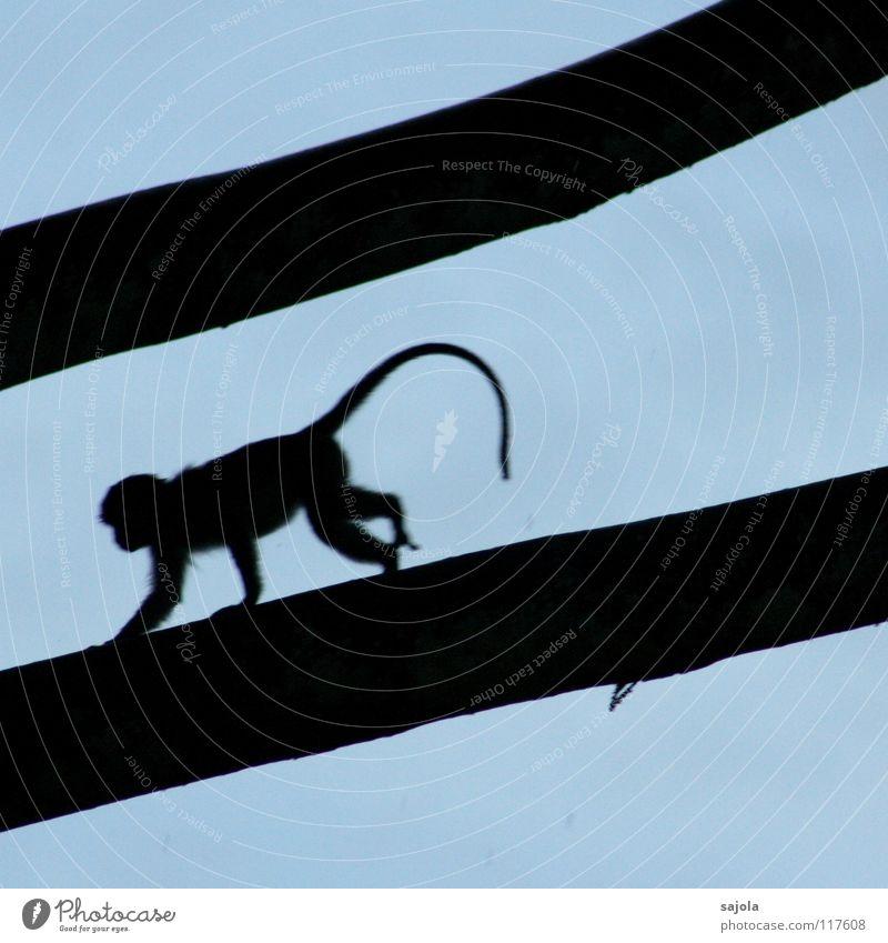 longtail macaque on the run Himmel Natur blau Baum Tier schwarz Umwelt Bewegung Angst laufen Ast lang Asien rennen Urwald Abenddämmerung