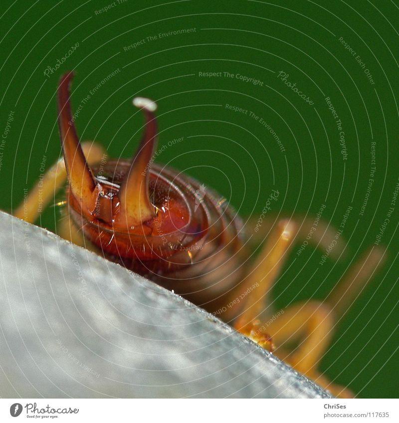 Arschzange ; Der gemeine Ohrwurm (Forficula auricularia) grün Tier Auge braun Angst glänzend Schilder & Markierungen Hinterteil Insekt Ekel Panik Fühler