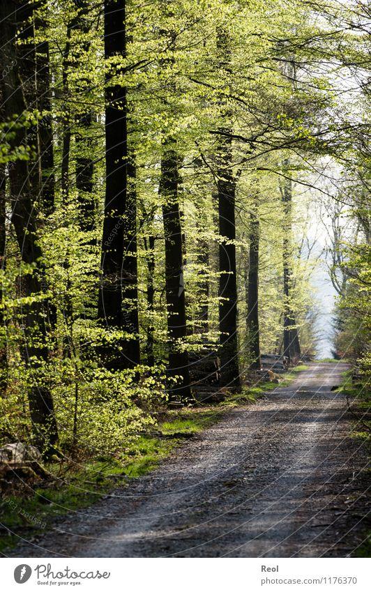 Waldweg Ausflug wandern Umwelt Natur Landschaft Frühling Schönes Wetter Pflanze Baum Grünpflanze Buche Holz Buchenwald Erholung grün Wege & Pfade