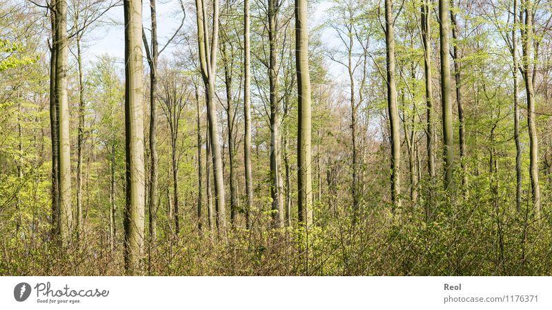Im Wald Umwelt Natur Frühling Sommer Schönes Wetter Pflanze Baum Sträucher Grünpflanze Wildpflanze Buchenwald braun Baumstamm Farbfoto Gedeckte Farben