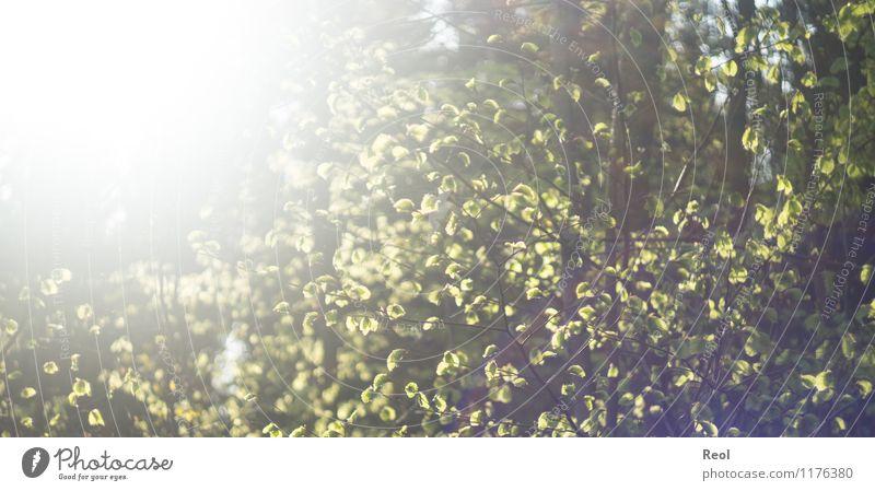Sonnendurchflutet II Umwelt Natur Sonnenlicht Frühling Sommer Schönes Wetter Pflanze Baum Grünpflanze Wildpflanze Blätterdach Blatt Ast Blattgrün Buche