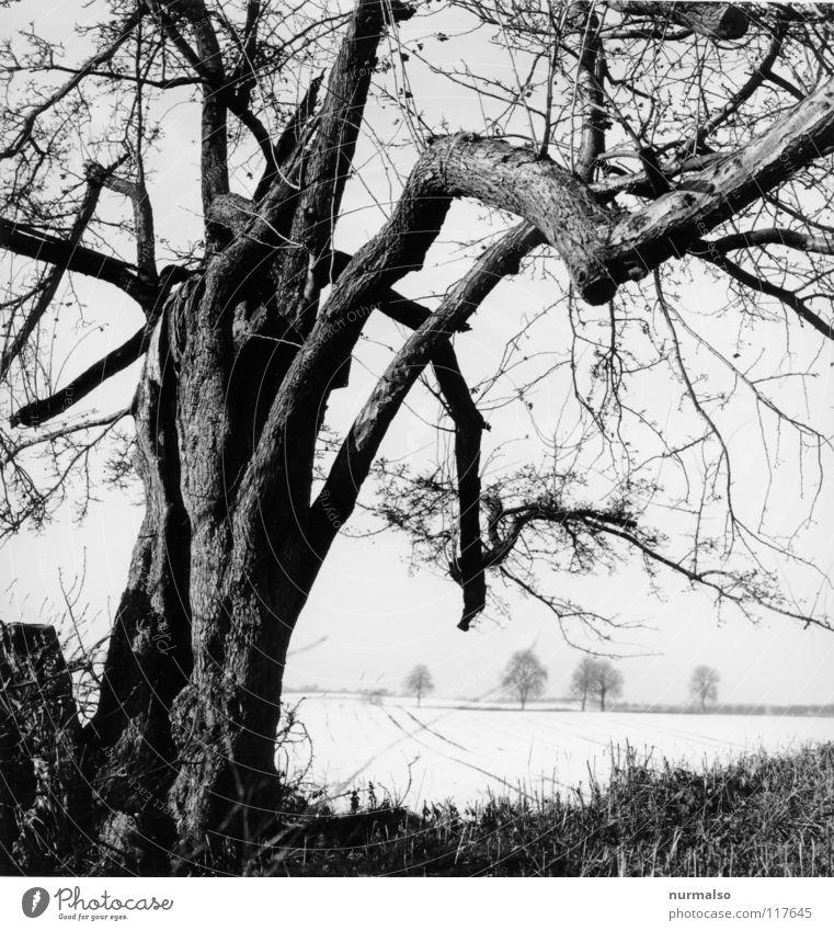 Kalte Ferne II kalt Baum Baumrinde eigenwillig Winter Feld Horizont laublos Einsamkeit Aussicht Mecklenburg-Vorpommern Heimat weiß grau klassisch Mittelformat