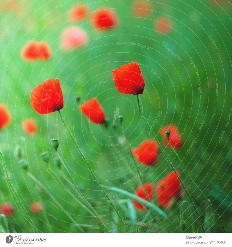 Mohn - glüht oder blüht Natur Pflanze grün schön Sommer Blume rot Landschaft Umwelt Frühling Stimmung Feld Wachstum Blühend weich Schönes Wetter