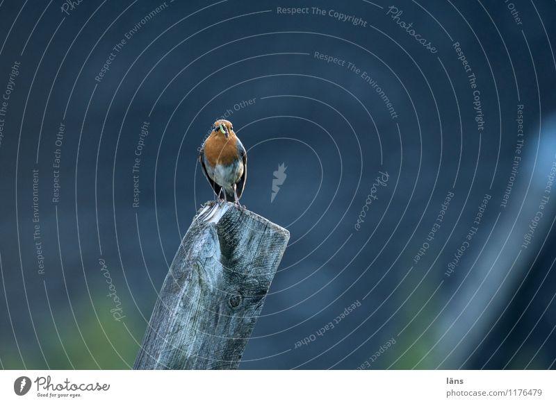 Zaungast Natur Vogel sitzen Aussicht Rotkehlchen