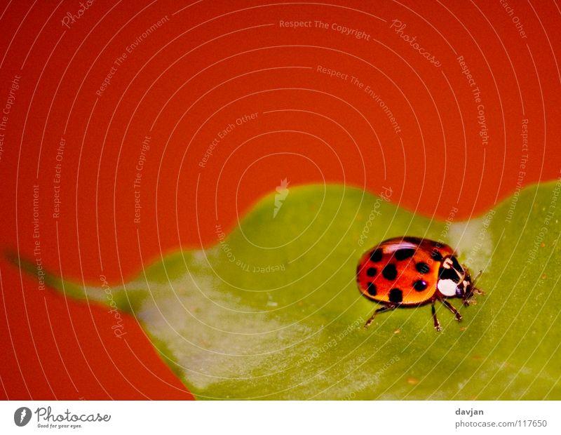 Marienkäfer II Blatt Pflanze Insekt klein groß rot grün Unschärfe zart krabbeln schön Makroaufnahme Nahaufnahme Käfer orange tragen