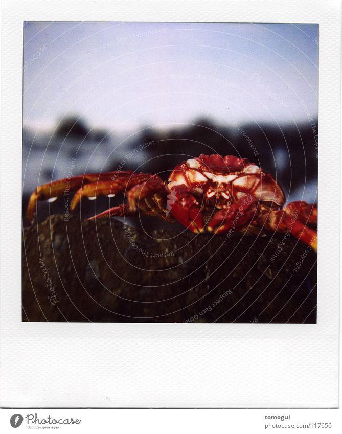 Grapsus grapsus Krabbe Meer Strand Meeresfrüchte Zange nass Tierkreiszeichen Krustentier Fisch Krebstier Felsenkrebs gepanzert Wasser Meeresbewohner Polaroid
