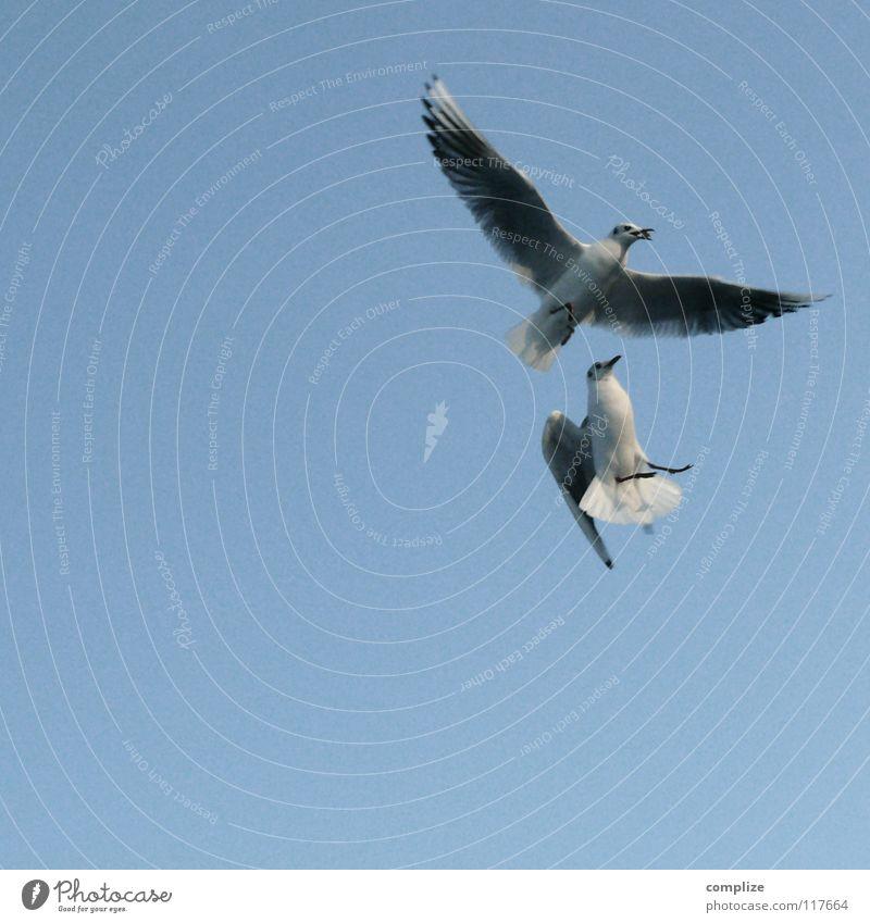 Futterneid Vogel füttern Schnabel verloren Verlierer Sommer Tier 2 ausbreiten Meer See Meeresvogel Strand Unfall Kollision kämpfen Himmel Sportveranstaltung