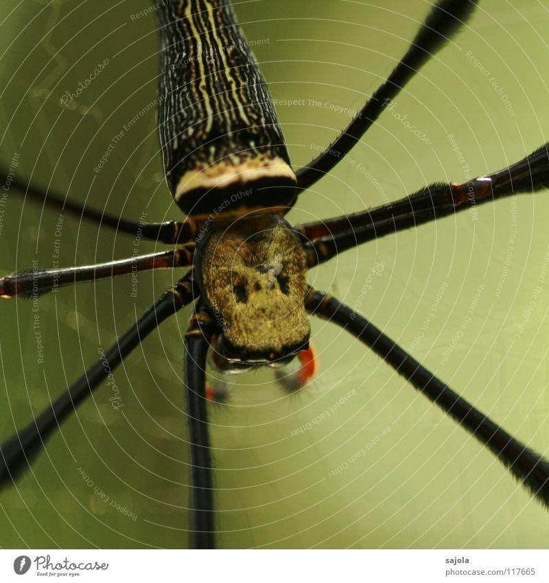nephila pilipes II Natur rot schwarz Tier Kopf träumen Beine Angst warten gold Tiergesicht Netz Hinterteil Asien