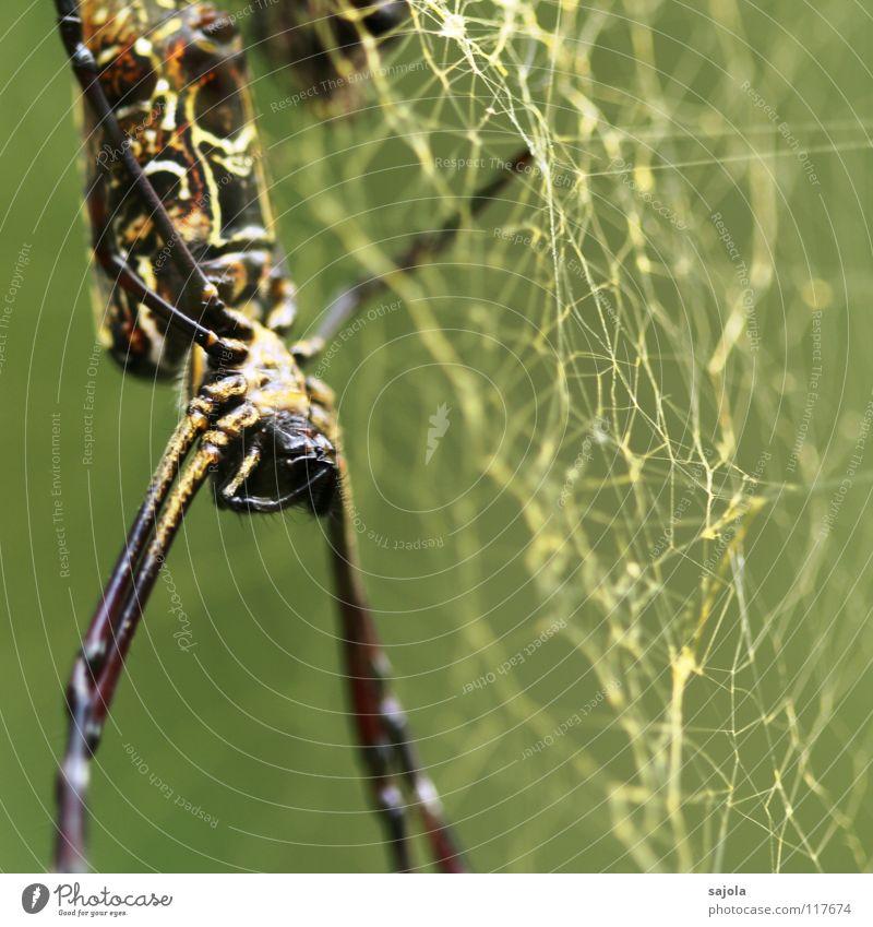 nephila pilipes III Natur Tier Kopf Beine Angst gold Netz Hinterteil Tiergesicht Asien gruselig Urwald Nähgarn Spinne Spinnennetz Singapore