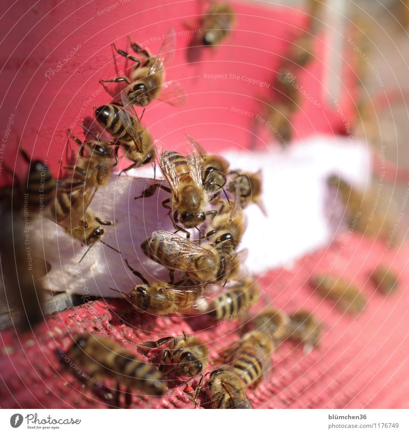 auf Arbeit | Teamwork Tier Nutztier Wildtier Biene Honigbiene Insekt Schwarm Bienenstock ästhetisch klein natürlich Arbeit & Erwerbstätigkeit Arbeitsplatz