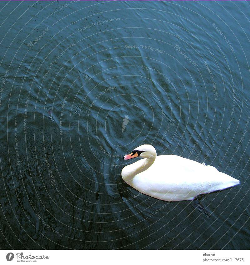 ::WEISS AUF BLAU:: Schwan Tier Vogel Gewässer weiß Wellen Wellengang Strömung nass feucht schick tief Sauberkeit steril wie rein Ehrlichkeit Klarheit See Teich