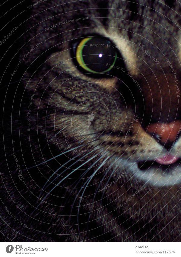 Untitled oder Ra-ubtier Fell Katze Streifen dunkel braun Appetit & Hunger Konzentration Hauskatze Landraubtier Futter feucht Säugetier Zunge Katzenauge getigert