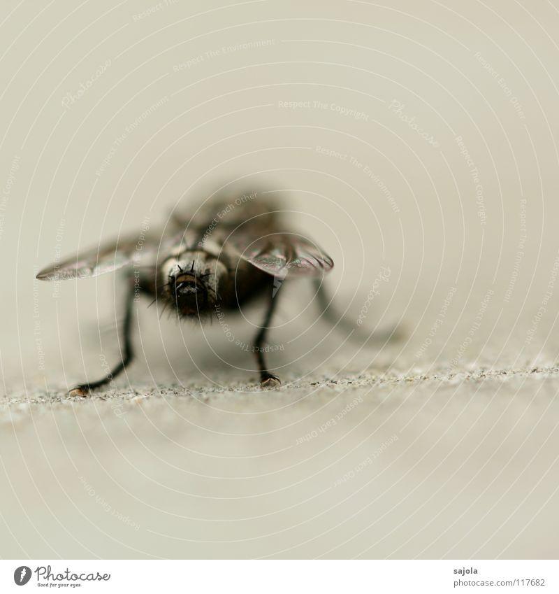 knackarsch schwarz Tier grau Beine Fliege Perspektive Hinterteil Flügel Insekt Härchen