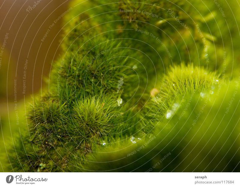 Mooswelt Pflanze grün Hintergrundbild Laubmoos Bodendecker Sporen Symbiose Natur mikro Flechten Makroaufnahme Botanik Wachstum Strukturen & Formen Waldboden