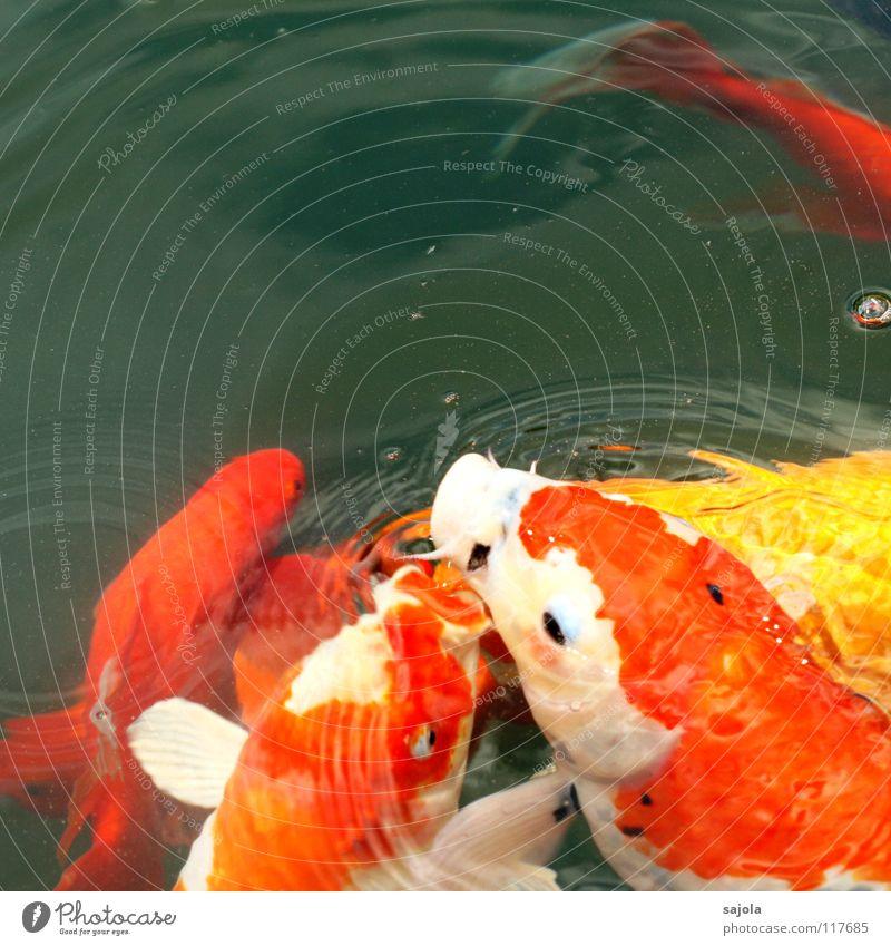 futtergerangel Wasser weiß Tier gelb orange Fisch Tiergruppe Tiergesicht Appetit & Hunger Teich Fressen Futter Fischauge knallig Koi Hemmungslosigkeit