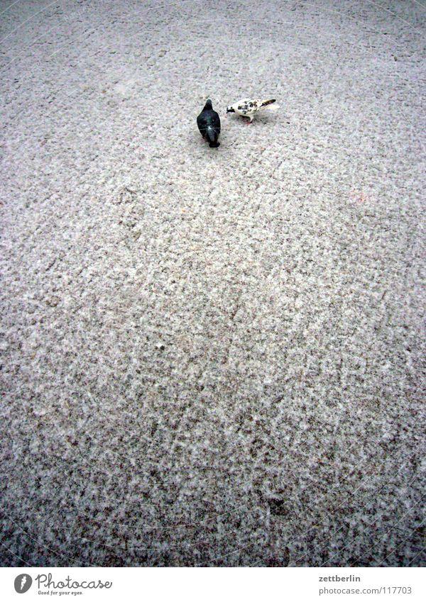 Tauben Winter Strand kalt Schnee Vogel Feder Flügel Bürgersteig Verkehrswege Kopfsteinpflaster Taube Schnabel Pflastersteine Wiedervereinigung Schneedecke Nachttopf