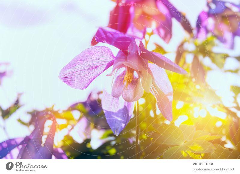 Akelei Blume im Sonnenuntergang Sommer Natur Pflanze Sonnenfinsternis Sonnenaufgang Sonnenlicht Frühling Schönes Wetter Blüte Garten Park Wiese Duft leuchten