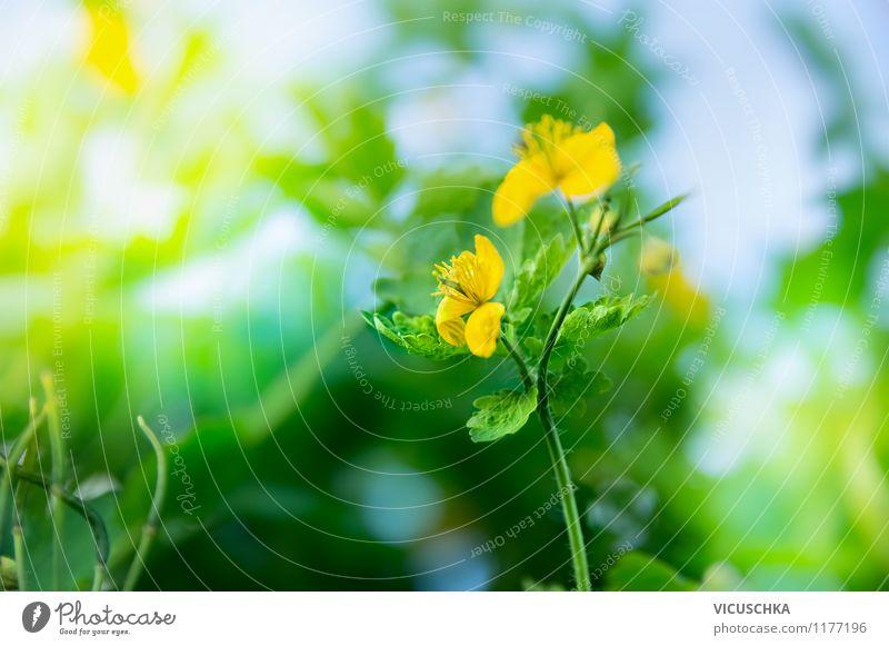 Schöllkraut Blüte Design Sommer Garten Natur Pflanze Sonnenlicht Frühling Schönes Wetter Blume Grünpflanze Wildpflanze Park Wiese gelb Hintergrundbild