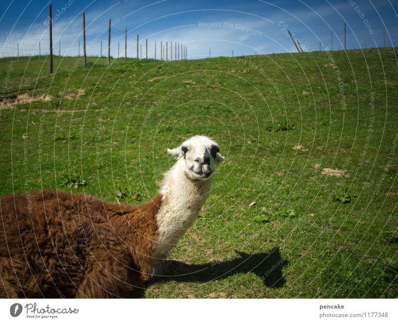 huhu! Natur Landschaft Sommer Wiese Tier 1 liegen Gefühle Fröhlichkeit Zufriedenheit Optimismus Kommunizieren Lama Zaun Wildpark Allgäu Schattenspiel