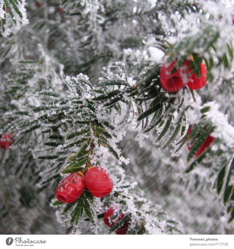 Taxus Winter Schnee weiß Tanne Tannennadel rot Vogelbeeren Nadelbaum Frucht Frost Eis Eiszeit Raureif gefroren Natur kalt Spaziergang Winterspaziergang Eibe