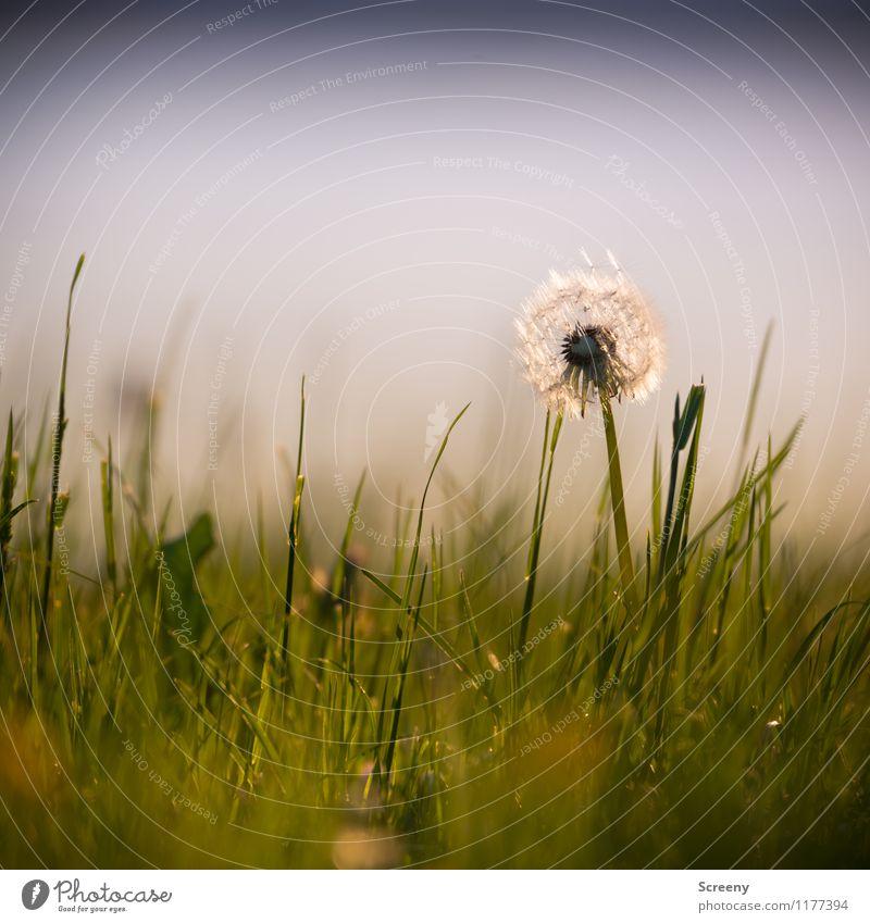 Pusten erlaubt... | UT Köln Natur Landschaft Pflanze Frühling Sommer Schönes Wetter Blume Gras Löwenzahn Park Wiese Wachstum frisch klein grün Gelassenheit