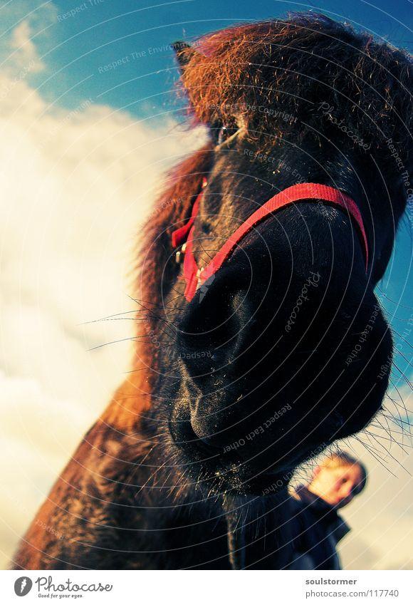 Pferd mit rotem Ding vorne dran Cross Processing Grünstich Gelbstich Tier Schnauze Wolken weiß Halfter Isländer Pferdegangart stehen mehrfarbig führen Mädchen