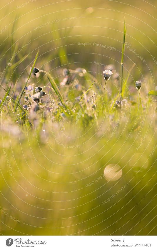 Märchenhaft | UT Köln Natur Pflanze Sonnenlicht Frühling Sommer Schönes Wetter Blume Gras Park Wiese Blühend Wachstum frisch klein Wärme gelb gold grün ruhig